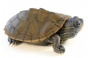 Черепаха Мускусная