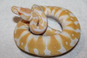 Королевский Питон Albino