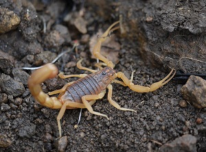 Скорпион H.hottentotta