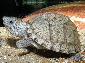Черепаха Мускусная Килеватая