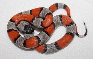 Мексиканская Королевская Змея